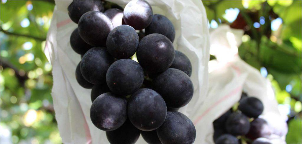 Kyoho grape picking (Aridagawa Town)