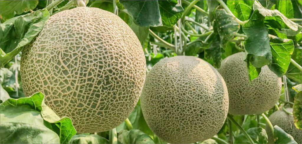 Melon picking (Gobo City)