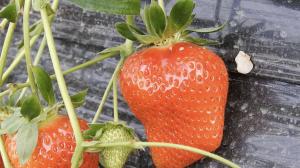 和歌山いちご狩り観光農園ひだか熟れたイチゴ