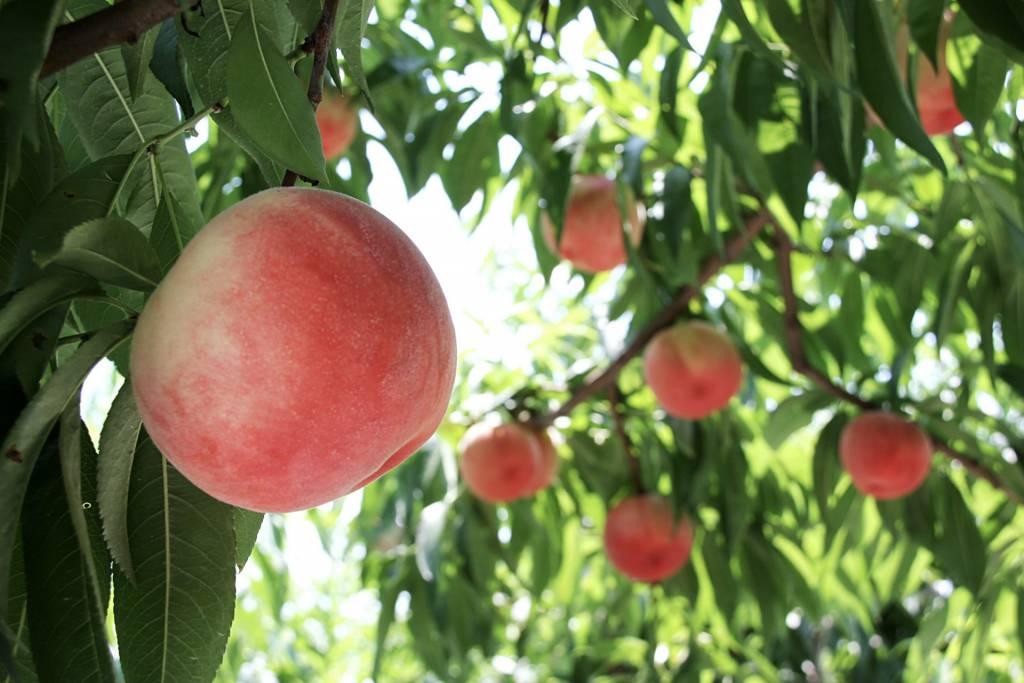 桃狩り和歌山食べ放題